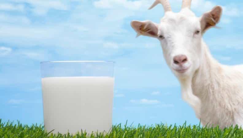 Alla scoperta del latte di capra, digeribile e saporito