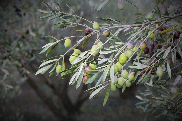 storia-olio-oliva